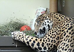 Junior the jaguar plays with enrichments prepared by zoo volunteer Jamie Campanelli